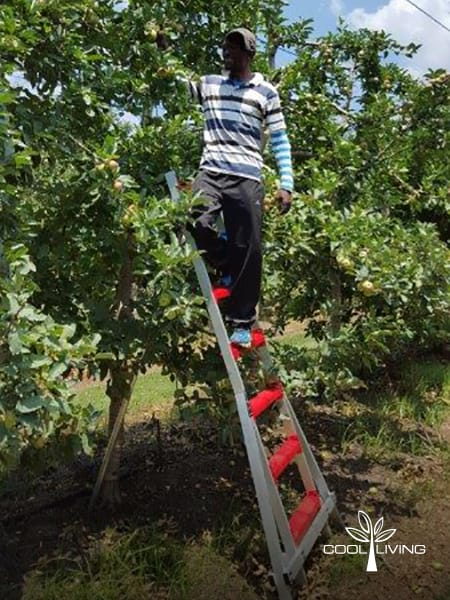 Custom length fruit picking ladder single broad step size from bottom to top step