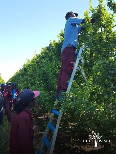 The StepUp Fruit picking ladder single broad step allows easy access for picking