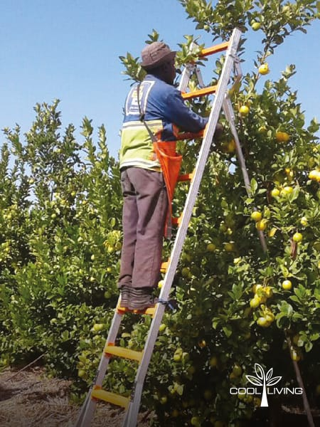 The StepUp Fruit Picking Ladder is ideal for fruit farms